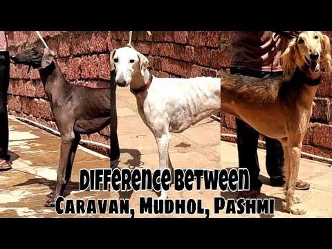 Difference between Caravan, Mudhol, Pashmi | TEJAS KAMALKAR |