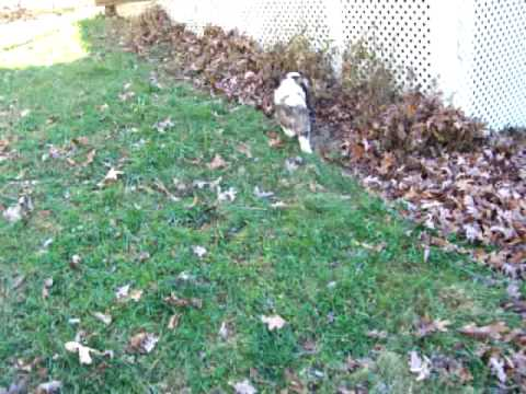 Saint Bernard Puppy Playing in the Leaves