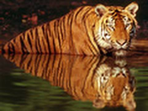 Tigers Threatened by Climate Change