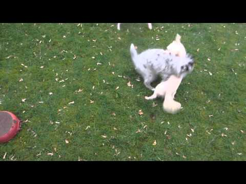 Fame, Jake & Kahlua - Chihuahuas and Shetland Sheepdog Puppy playing