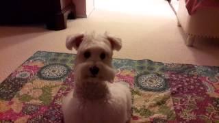 White Toy Schnauzer Charlie - Don't Move