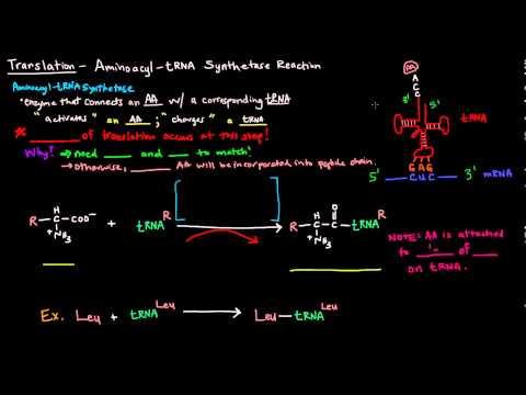 Translation (Part 3 of 8) - Aminoacyl tRNA Synthetase Reaction