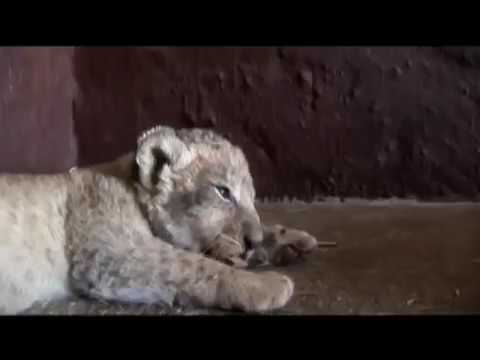 Lioness shows trust in man with her newborn cubs   YouTube