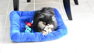 Cute Pomeranian Chewing on Attachable Chew on Keepees Dog Bed