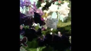 Стрептокарпусы Диметрис в Невском Доме Фиалки