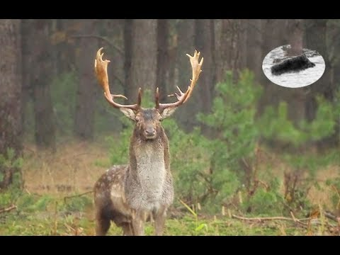 Fallow deer rut - how to call in fallow stag