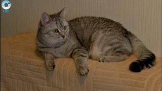 Ёлочный дождик вместо сухого корма. Как обезопасить кота от новогодних угроз?