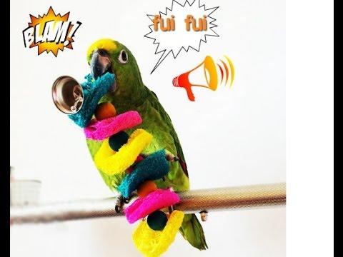 Amazon Parrot Whistling,Loro del Amazonas silbando,papagaio Assobio,رصفير الببغاءសេកហួច
