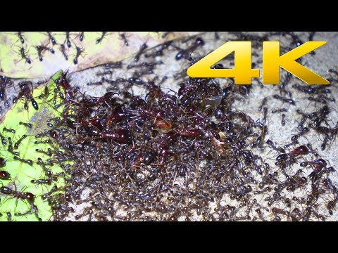 4K | African Army Ants (world's greatest raid)