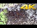 4K   African Army Ants (world's greatest raid)