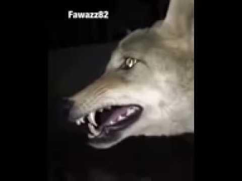 هل سمعت من قبل صوت الذئب عندما يرى الجن لاتنسو الاشتراك بلقناه Youtube
