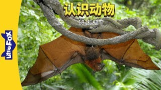 Meet the Animals 18: Flying Fox (认识动物 18:狐蝠) | Level 2 | Chinese | By Little Fox
