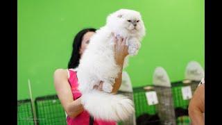 Видео Про кошек. Шотландский вислоухий котик