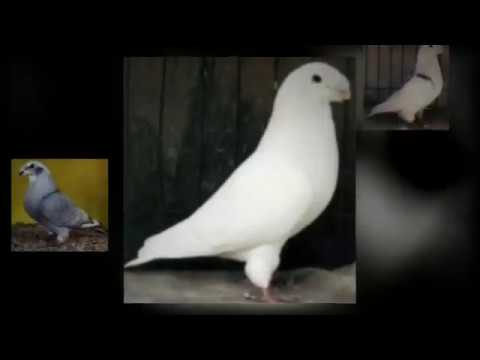 Doves For Sale >> American Show Racer | Pigeons For Sale - YouTube
