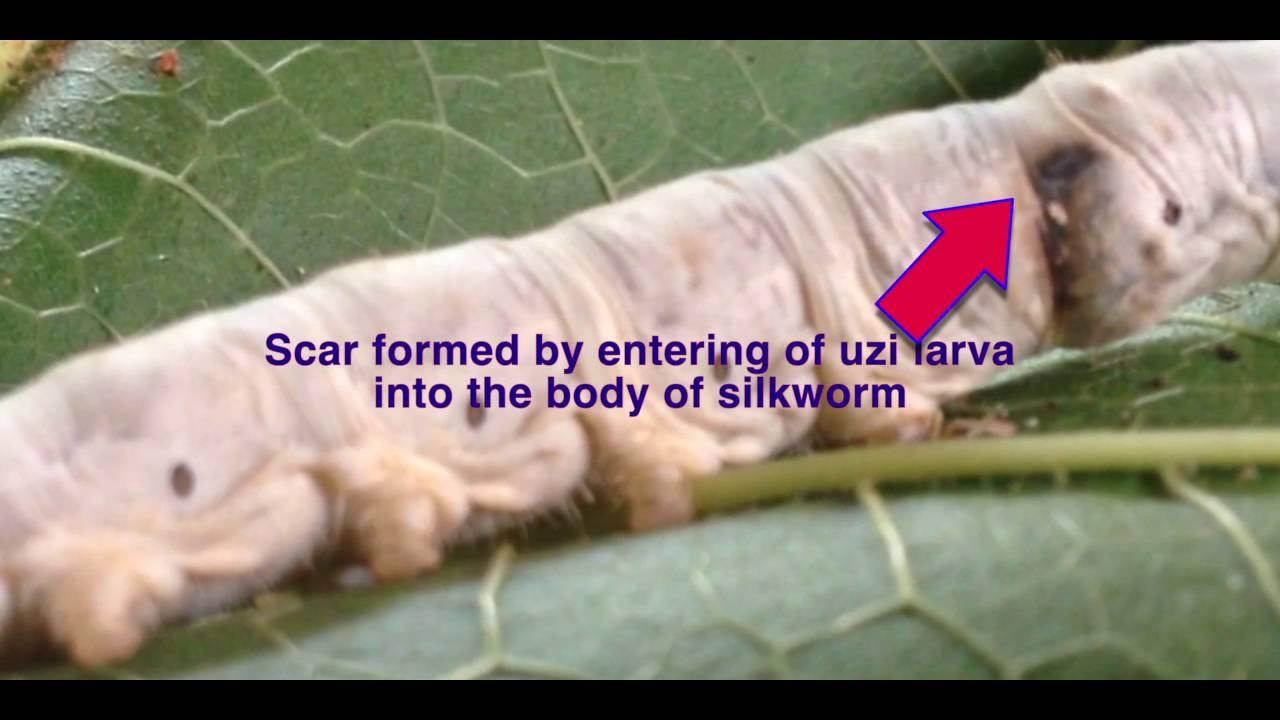 hight resolution of uzi fly laying eggs of silkworm
