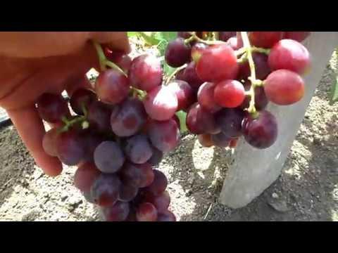 Обзор сверх(ультра)ранних сортов винограда на 17 июля 2017 года