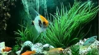 wonderful fish scalar with gourami ! Meadow sweet aquarium style