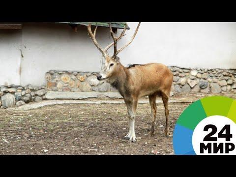 Орикс и марал: зоопарк Душанбе пополнился редкими животными из Казахстана - МИР 24