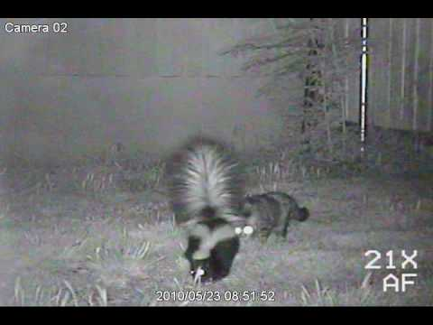 Skunk And Cat Caught On Tape.wmv
