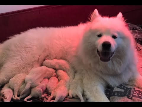 SAMOYED DOG GIVING BIRTH TO 8 ADORABLE PUPPIES! Family Fun