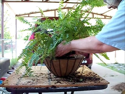Boston Fern April 30 2015 Repotting making 4 out of 1