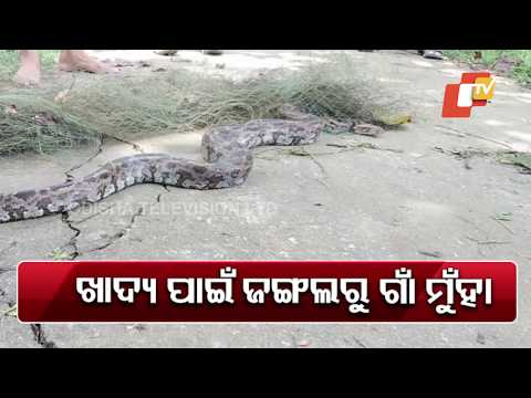 12-Feet Long Python Rescued In Balasore