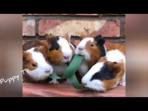 cute-guinea-pig😍😍funny-and-cute-puppies-compilation