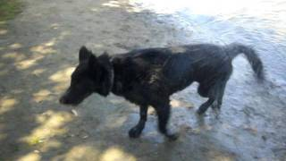 Uzzy Solid Black GSD puppy