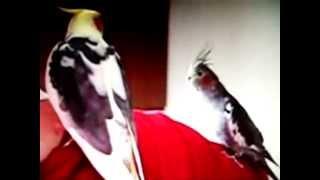 Говорящий попугай корелла видео
