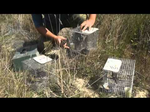 CABS: Operation against illegal Ortolan Bunting trapping (Matoles) in France / Landes