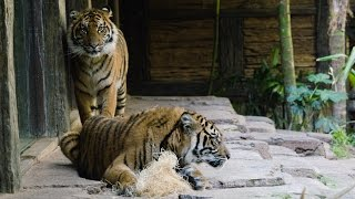 Tigers, Suka and Nelson, introductions at the San Diego Zoo Safari Park.