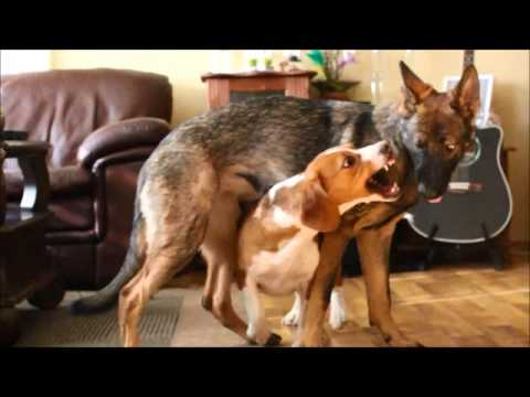 German Shepherd And A Beagle Mix Playing Youtube
