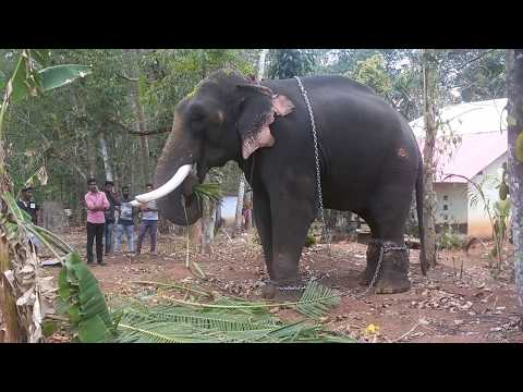 THRIKKADAVOOR SIVARAJU ELEPHANT NEAR PARIPPALLY KODIMOOTTIL TEMPLE.