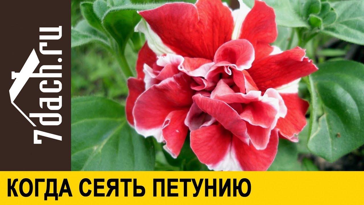 ☘️ Когда и как сеять петунию - НЕ ПРОПУСТИТЕ сроки - 7 дач ...