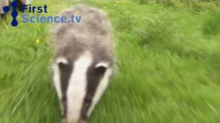 Taking badgers on a walk