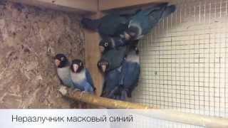 Неразлучники масковые синие (Agapornis personatus) продажа оптом