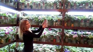20150911 190516(http://fialki.of.by, Кухня Фиалки, violets, streptocarpus, Belarus, buy violets, buy streptocarpus, house plants, flowers, buy flowers, watering the flowers, plant care ..., 2015-09-11T20:25:33.000Z)