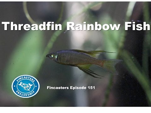 Threadfin Rainbowfish Fincasters Episode 151