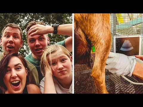 You won't BELIEVE which of our goats are PREGNANT!