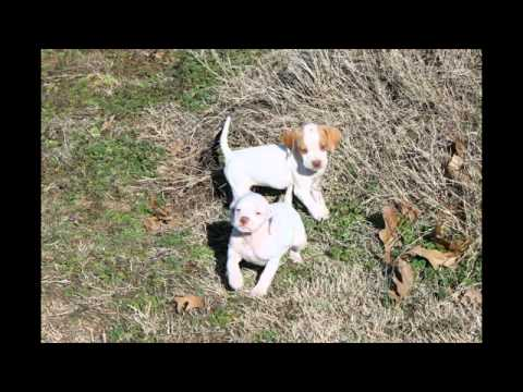 English Pointer Pups Litter #99