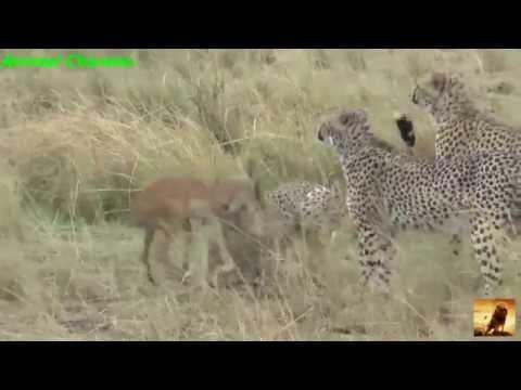 Animals attack 2016 | 110kmh cheetah attack gazelle 2016