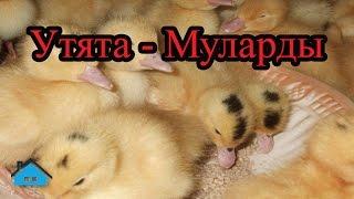 Утята - Муларды (Обзор)