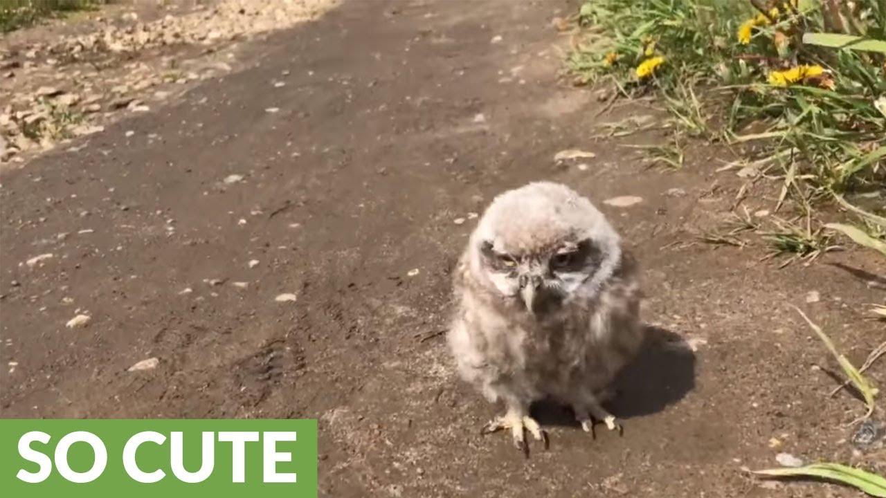baby pet owl goes for a walk doovi. Black Bedroom Furniture Sets. Home Design Ideas