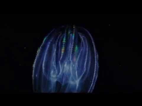 Introduction to Ctenophores or Comb Jellies