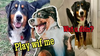 Life With a Bernese Mountain Dog