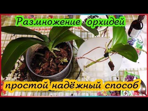Размножение орхидеи прикорневыми отростками