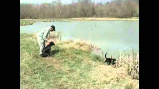 Training Retriever Puppies- How To Play Train Young Retriever On The Water