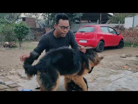 Don't buy or Buy long Coat German Shepherd..Doggyz World
