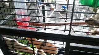 Bommel, unsere Schwanzmeise im Wellensittich Käfig