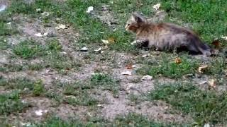 Голуби едят хлебные крошки и на них пытается напасть из засады кошка, но неудачно, голуби улетают